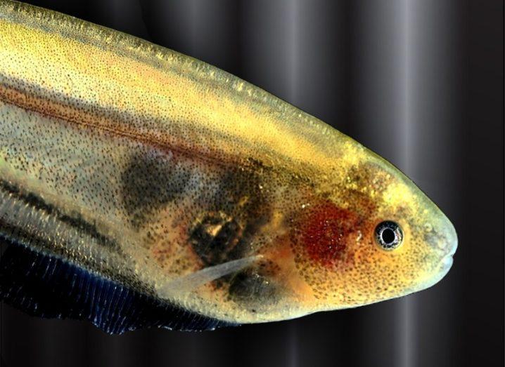 Eigenmannia fish