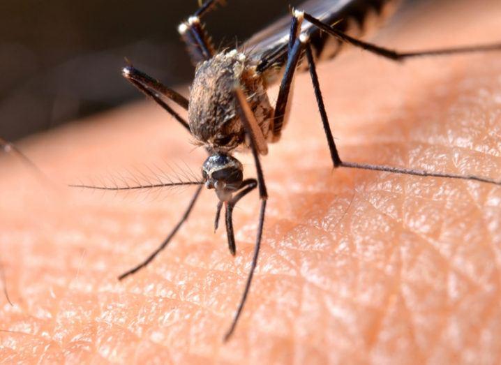 Mosquito piercing human skin