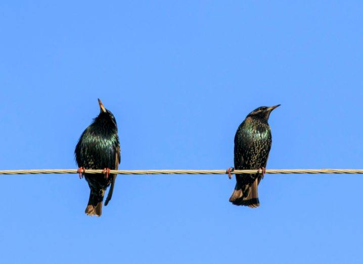 Two starlings on a power line