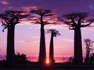 Row of baobab trees