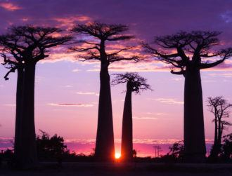 What in the world killed some of Africa's oldest trees?