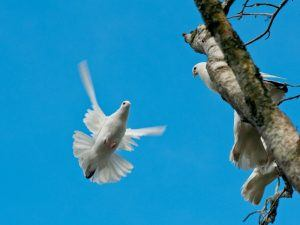 A flying dove