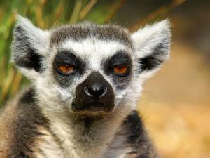A very, very grumpy ring-tailed lemur