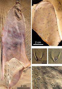 Marine fossil sample