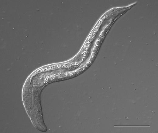 Juvenile nematode