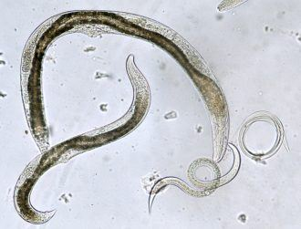 Scientists replicate weird development of tiny, jumping worm in the lab