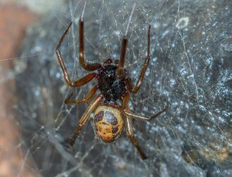 Ireland's large spider invader is starting to eat unlikely native species
