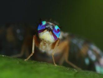 Really weird, mind-control zombie fungus sees flies meet a gruesome end