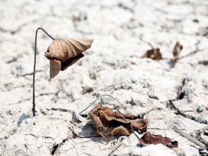 Withered flower in dry ground