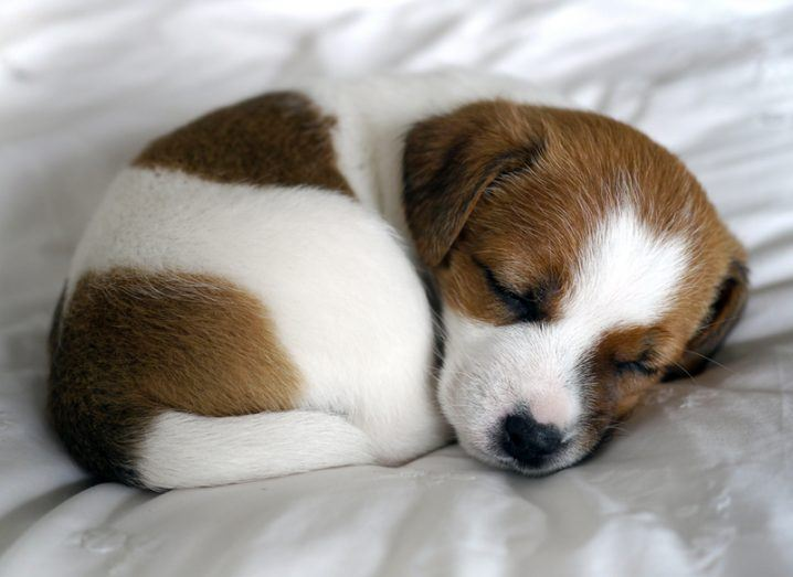 Sleeping jack russell puppy curled into a ball on a white blanket.