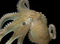 Octopuses on MDMA could provide clues to evolution of human social behaviour
