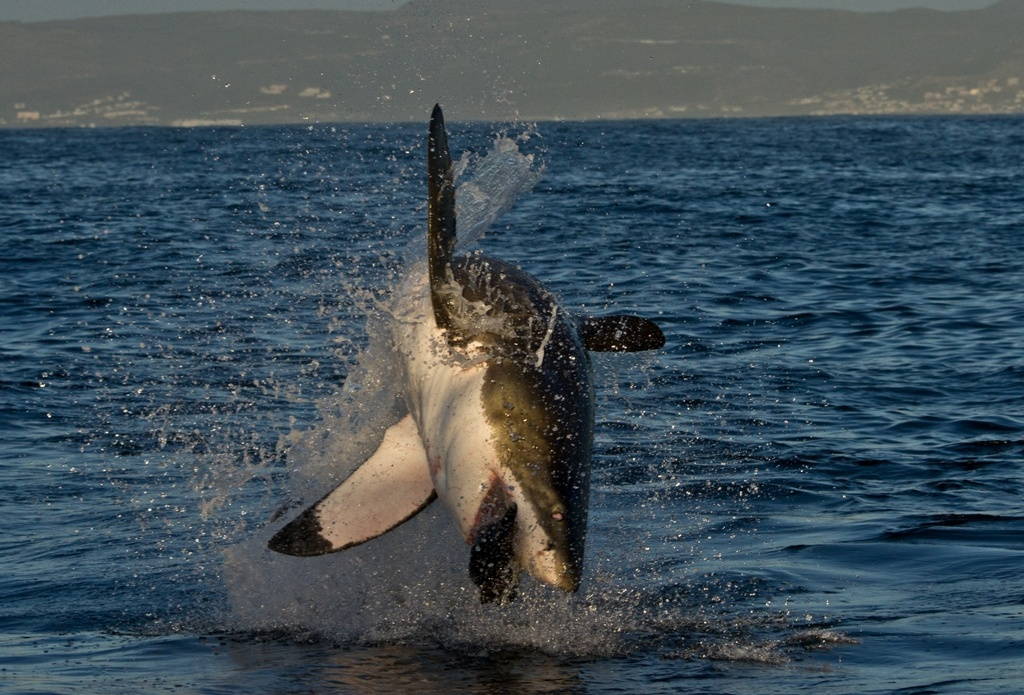 A great white shark breaching the water