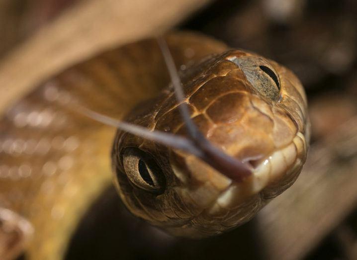 A close-up shot of a brown tree snake flicking its tongue at the camera.