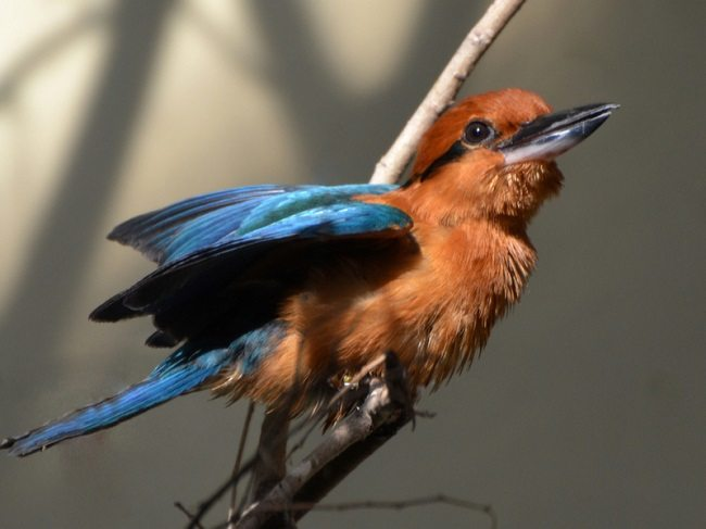 An orange and blue Guam kingfisher perched on a branch.