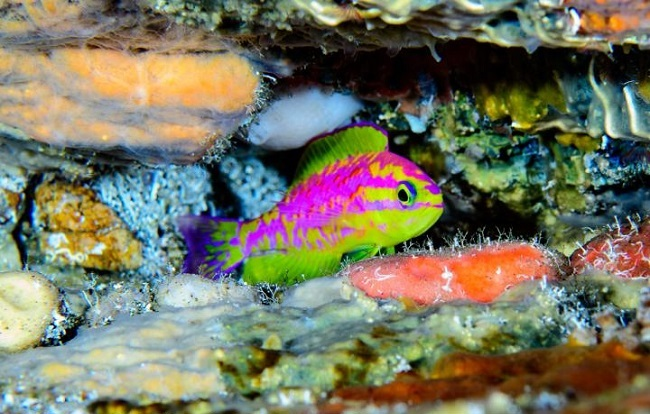 The neon-coloured fish hiding in a rocky crevice.