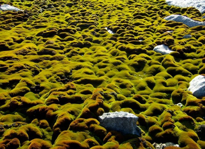 Green Antarctic moss with some grey rocks peeking out of the ground.