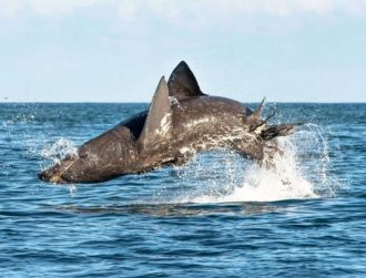 Study reveals basking sharks can jump just as high as great whites