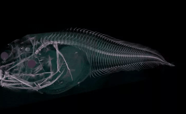 A CT scan of one of the new species of snailfish, showing its skeletal structure
