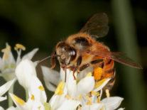 World's most used weedkiller may cause bee deaths globally