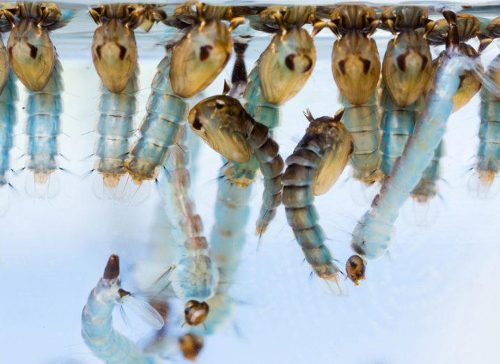 Mosquito larvae and pupae underwater, close-up.