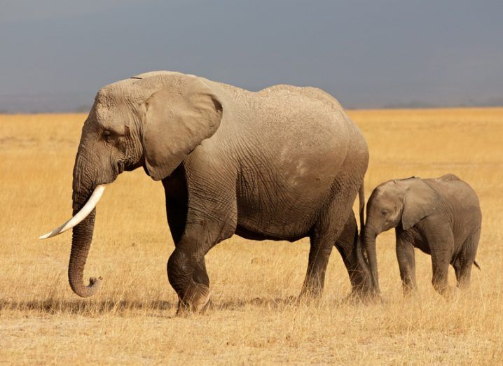 An African elephant cow walking with her calf in a national park.