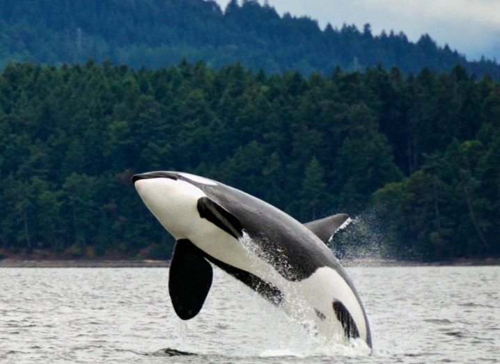 A killer whale leaping out of the water with a forest in the background.