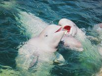 Novel IoT solution could help save endangered beluga whales
