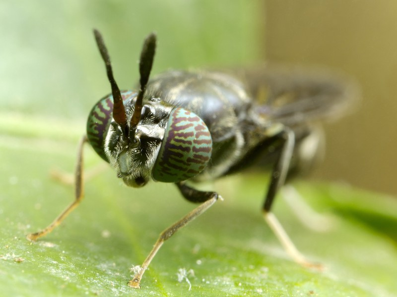 Close up image of a soldier fly
