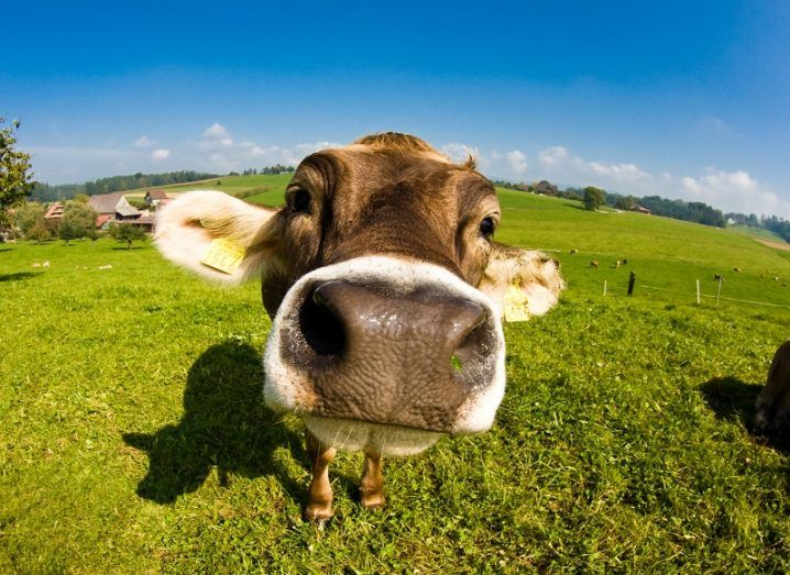 Fisheye lens close-up of a cow's nose against backdrop of a green field.