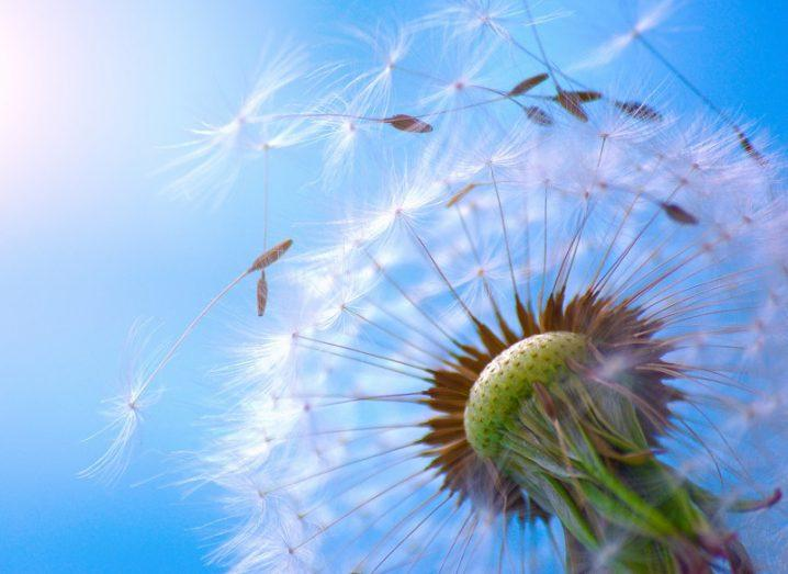 Close-up of a dandelion plant releasing its seeds on a beautiful day.