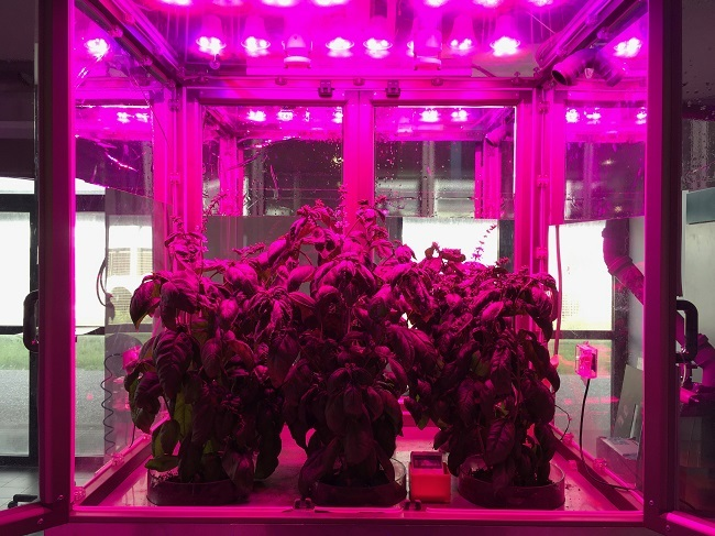 Plants bathed in pink light in Enea's ultra-efficient space gardens.