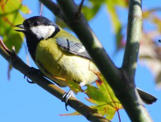 'Macho' male great tits are not as promiscuous as we once thought