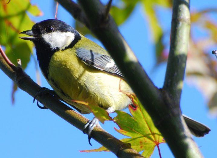 A male great tit with yellow plumage resting on a tree branch.