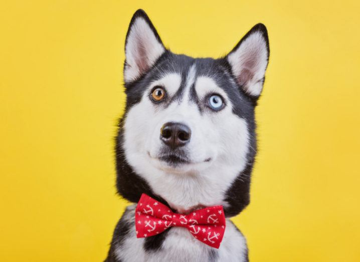 A husky pulling a perplexed face against a yellow background.