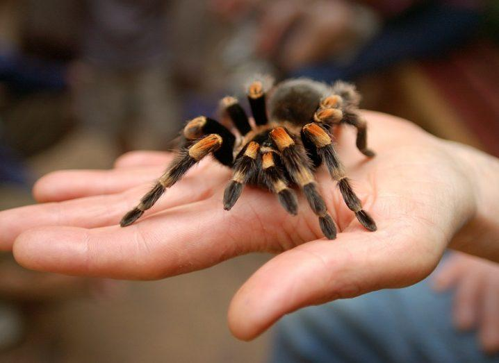 Hand outstretched with a brown and orange tarantula spider on it.