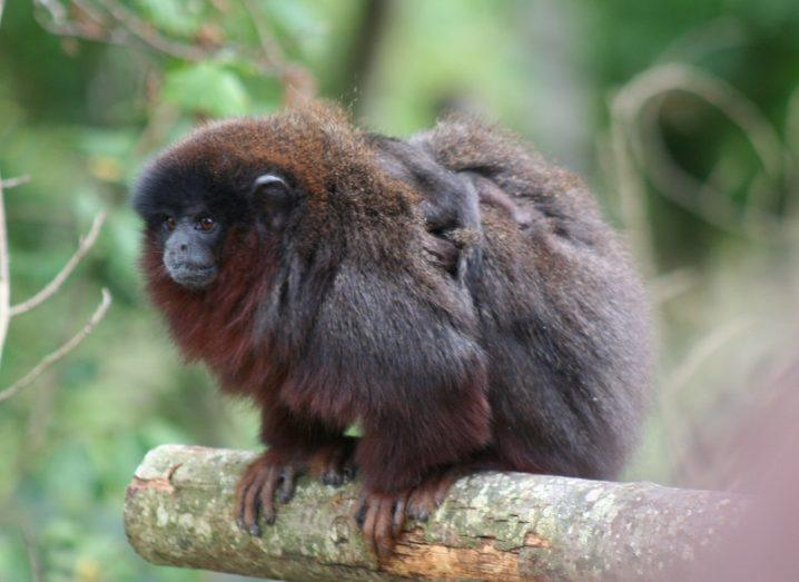 A furry, brown titi monkey perched on a tree branch.