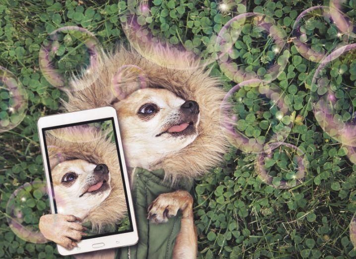 cute chihuahua lying in green grass with clover wearing a fur like jacket hoodie looking at soap bubbles taking a selfie toned with a retro vintage instagram filter app or action effect.