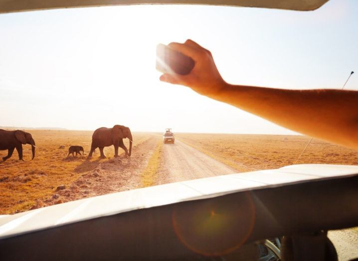 Tourist on safari takes picture of elephants with a smartphone.