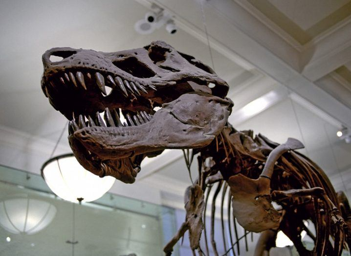 Fossilised bones of a large dinosaur on display in a museum.