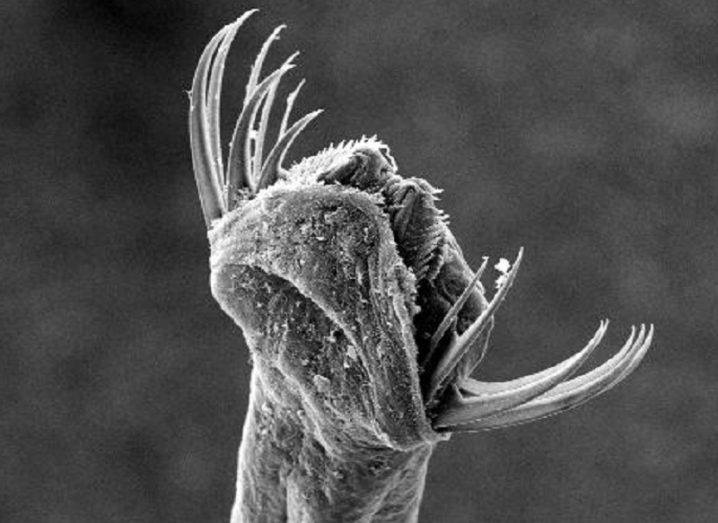 Black and white microscope image of the arrow worm's expanded jaw.