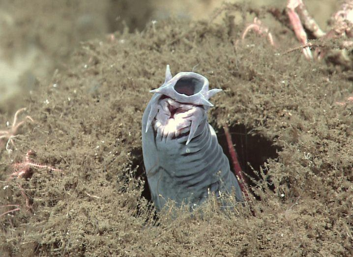 A grey eel-like hagfish protruding from an ocean sponge.