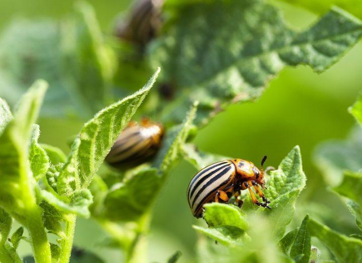 Vibrant orange-coloured potato beetles munching on a farmer's crop.