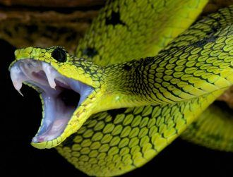 What makes a king cobra bite deadlier than an adder's? Its diet