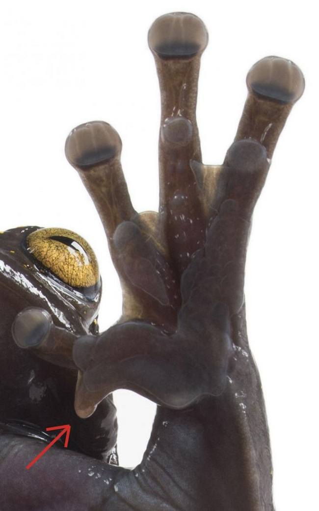 Close-up of the treefrog's foot with a strange, claw-like appendage.