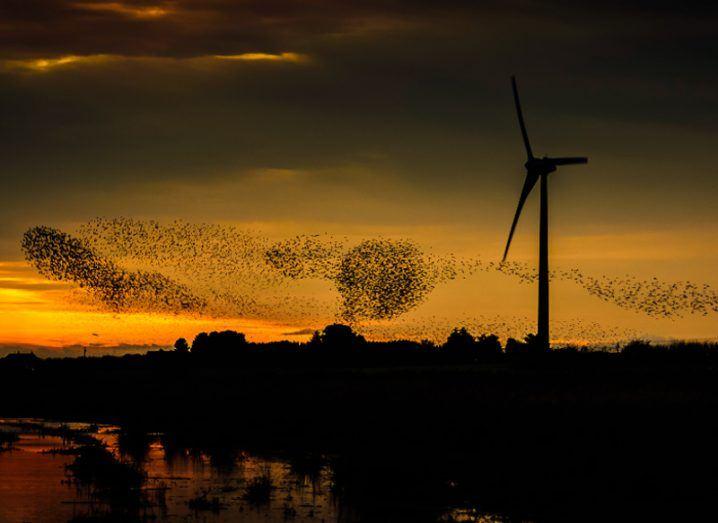 A murmuration of birds alongside a wind turbine in Ireland at dusk.