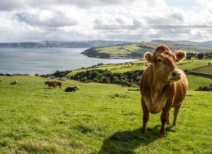 Brown cow in an Irish field with sea in background.