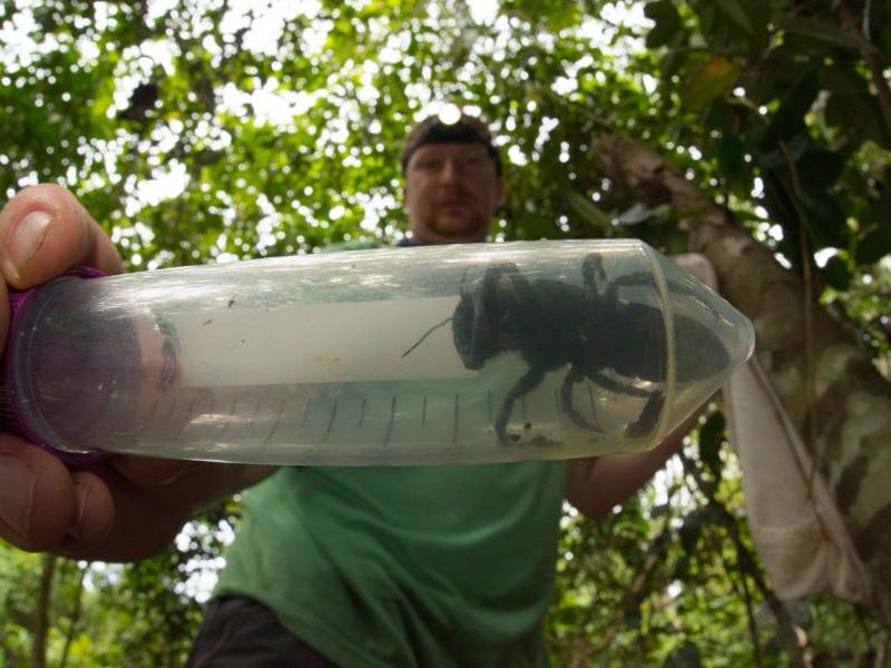 Researchers abuzz as world's biggest bee is rediscovered in Indonesia