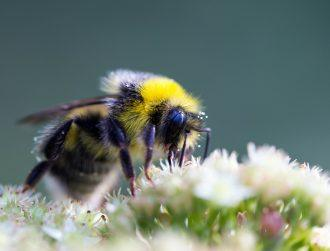 Unexpected queen bumblebee discovery could help us save multiple colonies