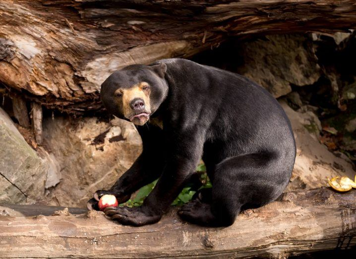 A sun bear eating an apple while looking quite angry on a toppled tree trunk.