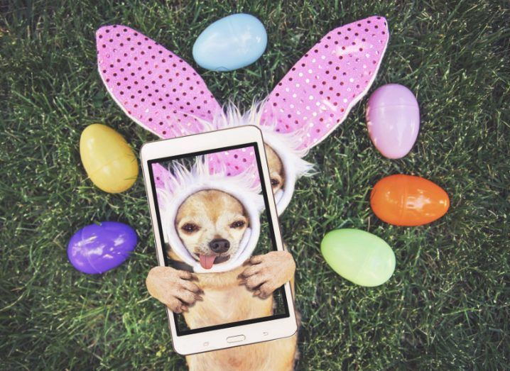 a cute chihuahua with rabbit ears on and his tongue out surrounded by Easter eggs taking a selfie toned with a retro vintage instagram filter app or action effect.